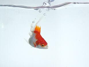 白山命水で金魚や熱帯魚にも!